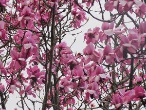 Magnolia sargentiana var. robusta