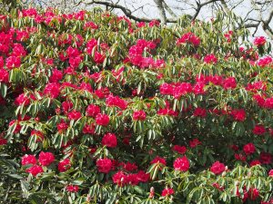 Rhododendron 'Mrs Butter'