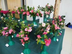 x williamsii camellias