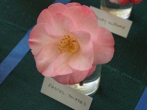 Camellia 'Pastel Shades'