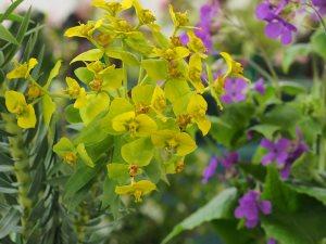 Euphorbia rigide