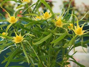 Leucodendron salignum
