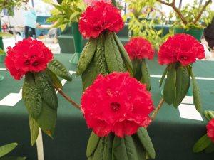 Rhododendron argipeplum