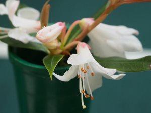 Rhododendron baihuaense JN 11050
