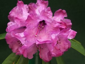 Rhododendron 'Snowy River'