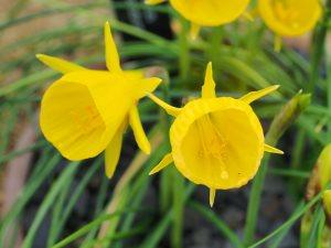 Narcissus bulbicodum