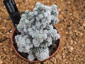 Ozothamnus coralloides