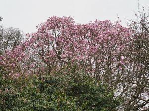 Magnolia dawsoniana seedling
