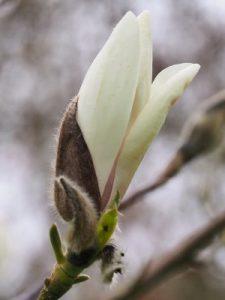 Magnolia 'Lotus'