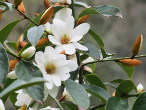 Michelia 'Fairy White'