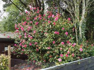 Camellia x williamsii 'Caerhays'