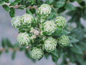 Phylica arborea