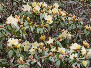 Rhododendron bauhiniiflorum