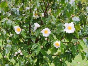 Camellia trichocarpa