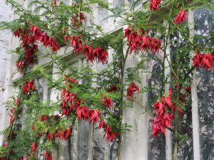 Clianthus puniceus 'Maximus'