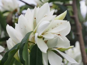 Magnolia maudiae