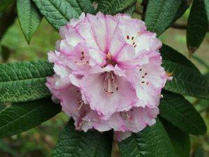 Rhododendron fansipanense