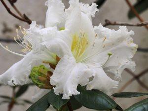 Rhododendron veitchiorum