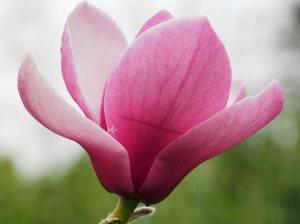 Magnolia 'Black Swan'