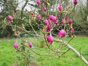 Magnolia 'Black Tulip' x Magnolia 'Deep Purple Dream'