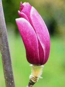 Magnolia 'Black Tulip' x Magnolia liliiflora 'Holland Red'