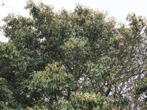 Magnolia floribunda