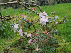 Rhododendron 'Harry Tagg'