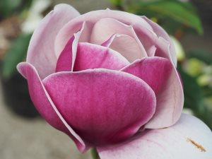 Magnolia 'Venus'