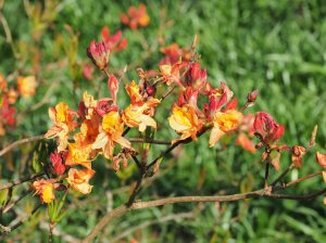 unnamed deciduous azalea