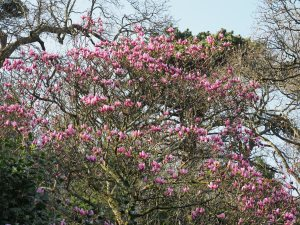 Magnolia ''Star Wars'
