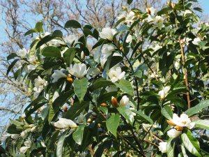 seedlings from Michelia doltsopa 'Silver Cloud'