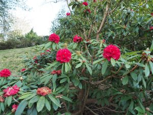Rhododendron kendrickii