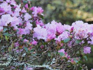 Rhododendron 'Praecox'