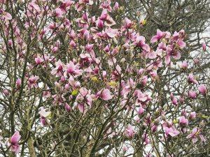 Magnolia 'Atlas'