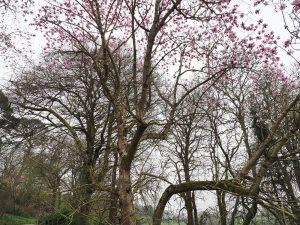 Magnolia sargentiana robusta x Magnolia sprengeri 'Diva'