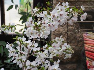 Prunus incisa 'The Bride'