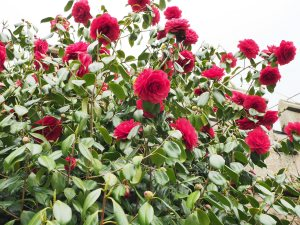 Paeony form double red camellia