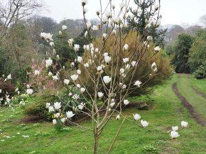 Magnolia 'Joli Pompom'