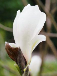 Magnolia 'Lu Shan'
