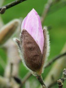 Magnolia x loebneri 'Lucy Carlson'