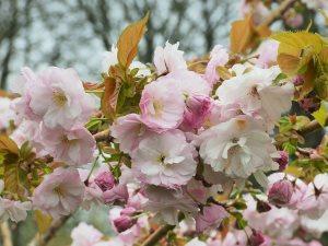 Prunus 'Matsumae-hanaguruma'
