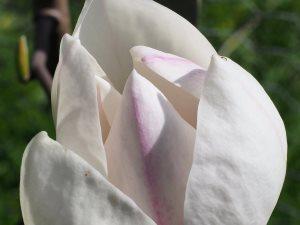 Magnolia 'Avocet'
