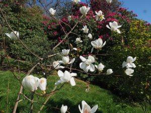 Magnolia 'Phelan Bright'