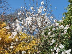 Magnolia x loebneri 'Mags Pirouette'