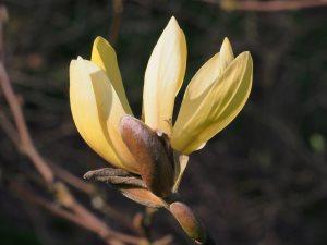 Magnolia 'Golden Gala'
