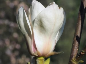 Magnolia 'Scented Gem'