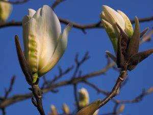 pale yellow magnolia