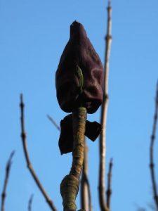 Magnolia officinalis ssp. biloba