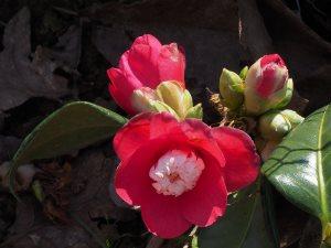 Camellia sasanqua 'Marshmallow'