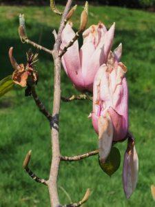 Magnolia 'Early Rose'